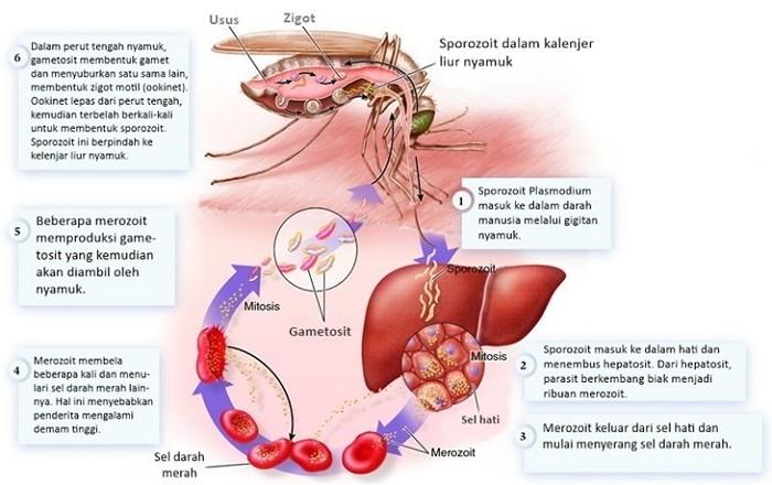 cara nyamuk menularkan malaria