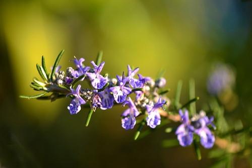 Memakai bunga Rosemary