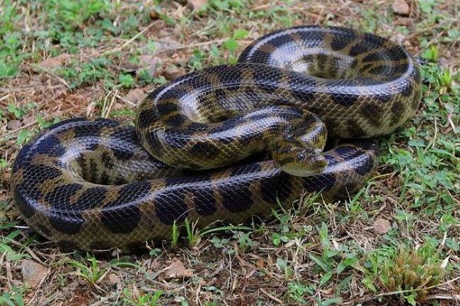 Dark-spotted anaconda