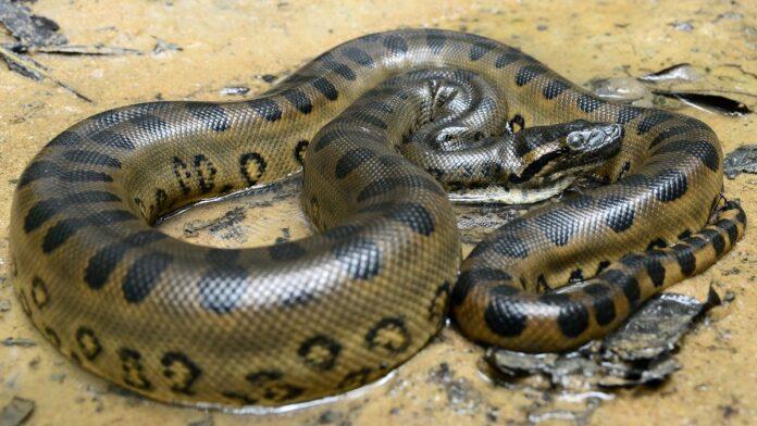 Inilah 10 ular terbesar di dunia nomer 1 beratnya mencapai 250 kg ular terbesar di dunia reheart Image collections