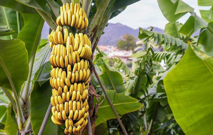 khasiat dan manfaat pisang